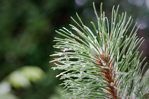 {185/365} rain droplets on pine