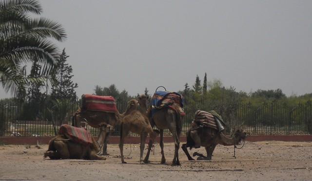 32 camels