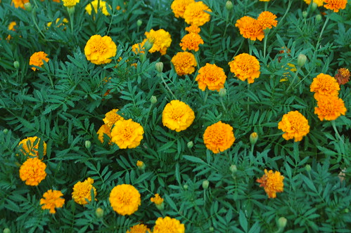 Bumper Crop of Marigolds
