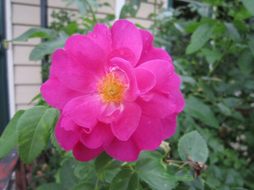 Frank's Rose