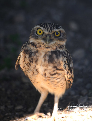 mad owl