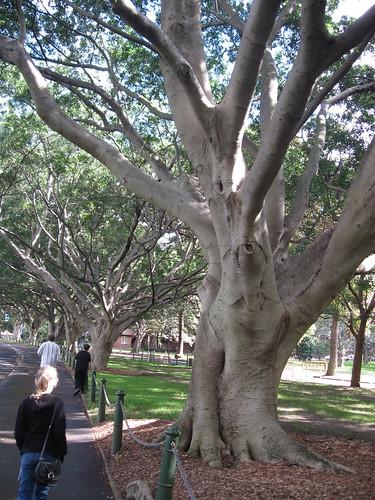Port Jackson fig trees along Art Gallery Road