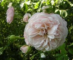 Balßrosa Rose
