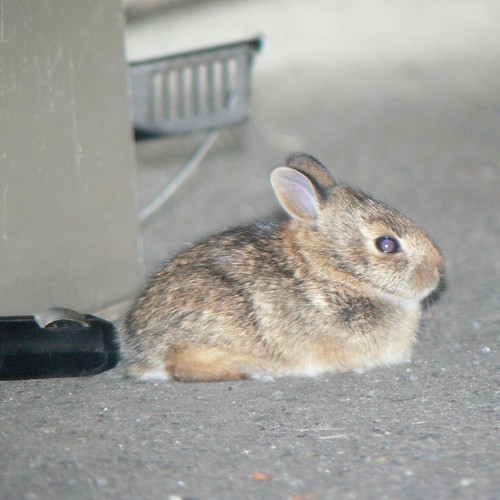Bebe bunny, Kent, WA