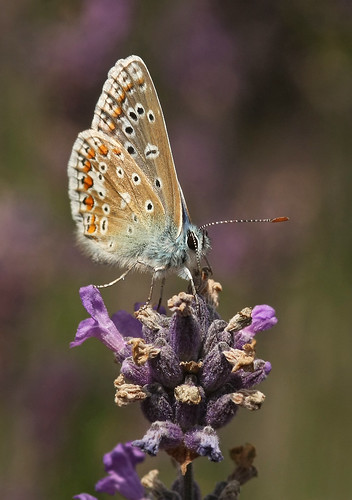 Big Butterfly Count, 24 July - 1 August