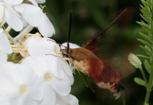 Hummingbird Clearwing, Hemaris thysbe
