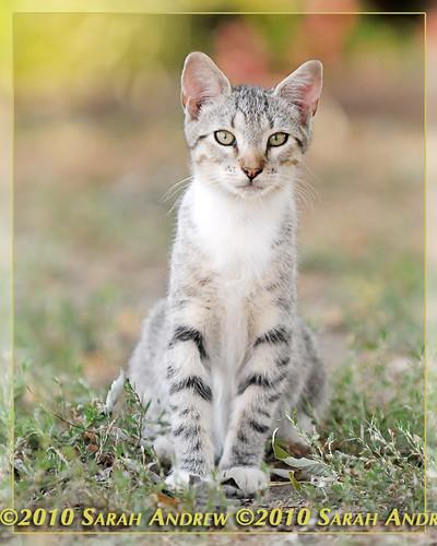 Camelot Kitten