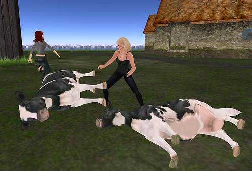 Cow down! Cow down!