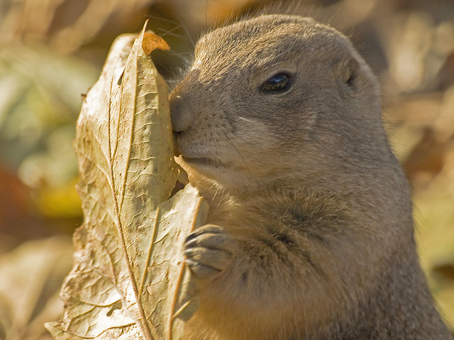 Prairie Dog with Leaf