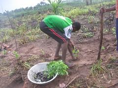 Ghana - Trees Ghana Samsam Odumase community f...