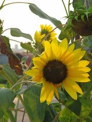 Sunflowers on Oak Street