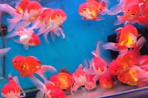 goldfish for sale in jj market