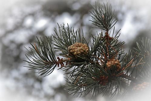 {215/365} pine cones