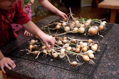 sorting onions