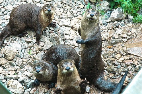 a group of otters in an enclosure looking very attentively towards the camera.  One is reaching a paw up towards the photographer.