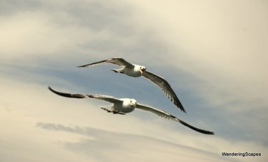 lake mead seagulls