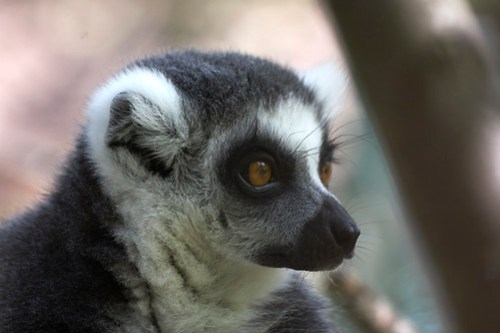 Monkey World - Ring Tailed Lemur