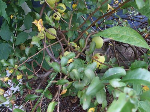Apple Bush