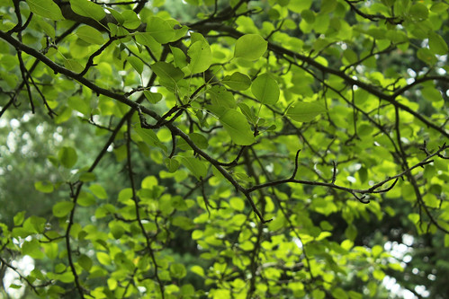 Crabapple Leaves
