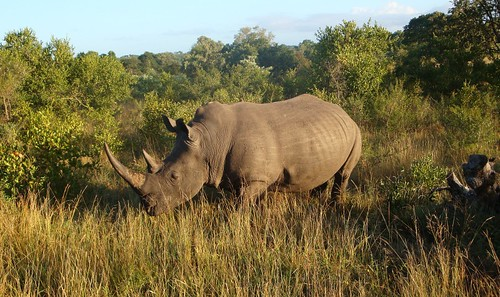 Rhino at Kruger Park - African Travel Experts