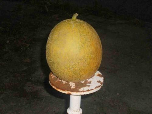 melone n. 7