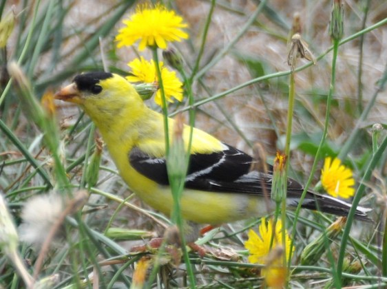 Census Designated Places CDPs New Jersey State Bird Feeding And Watching Birds In American Goldfinch