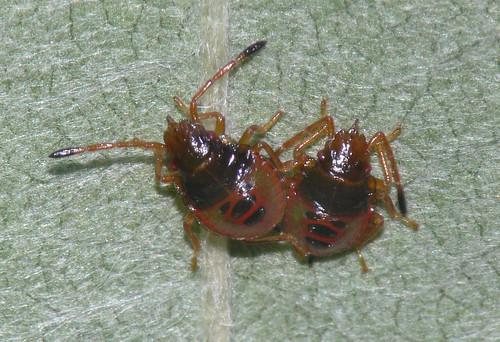 Hawthorn shield bug (Acanthosoma haemorrhoidale) nymphs