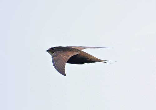 Swift (Apus apus)