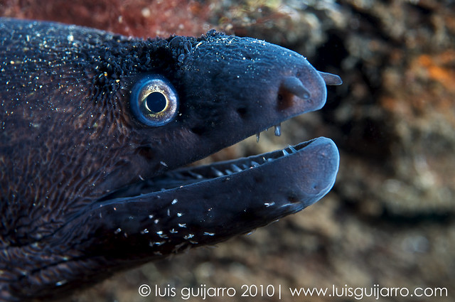 Moray Eel with Parasites-36/365