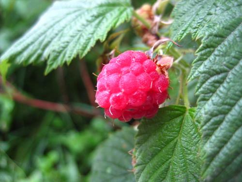 wild raspberries