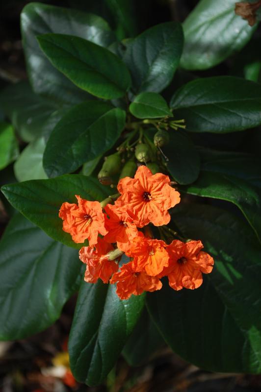Cordia sebestena (Geiger tree)