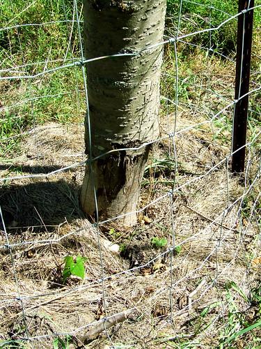 dead cherry tree girdled by porcupine