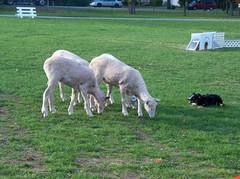 stay sheep