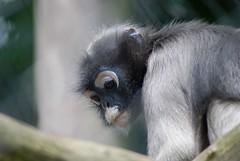 Java-Langur im Howletts Wild Animal Park