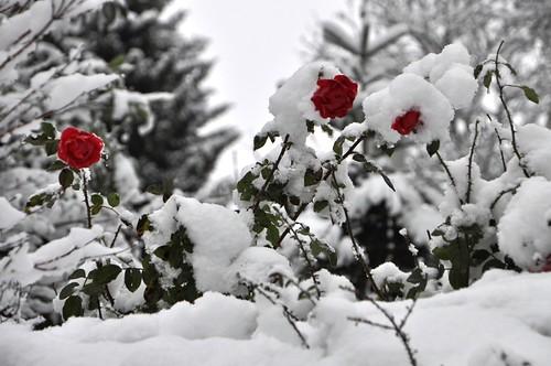 Snow+Roses_7745