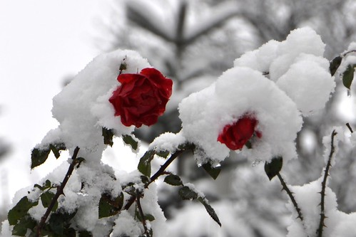 Snow+Roses_7742