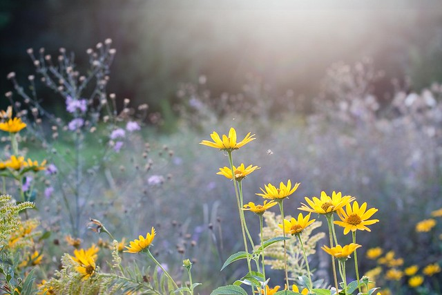 {251/365} daisies