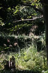 自然環境保全センターのススキ