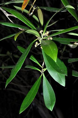 Tristanopsis exiliflora (Kanuka Box)