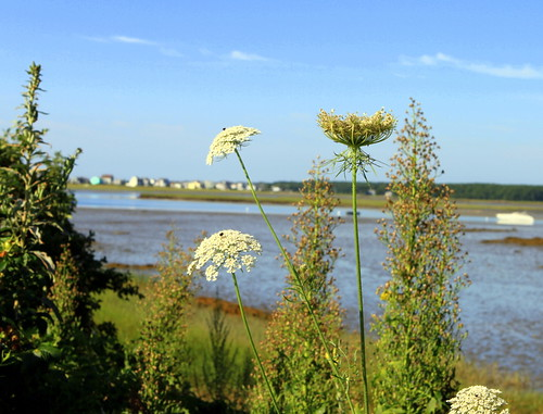Queen Anne's Lace and Biddeford Pool