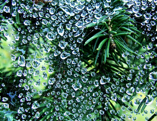spiderweb droplets on Norway spruce