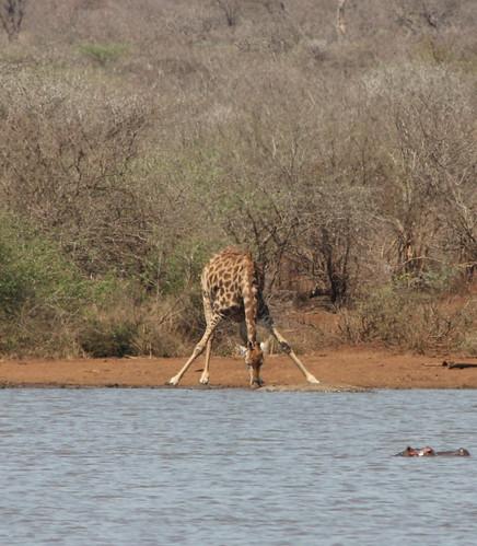 Giraffe drinking.CR2