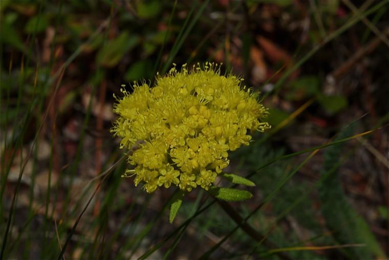 northern buckwheat, Eriogonum compositum