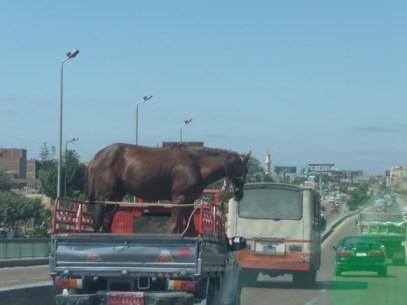 Horse in truck