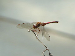 Backyard dragonfly