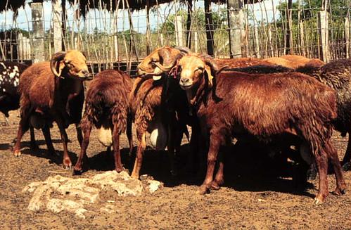 Disease-resistant red Maasai sheep in Kenya
