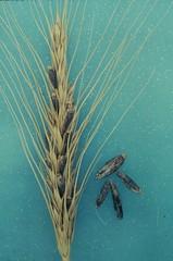 Ergot on wheat spike