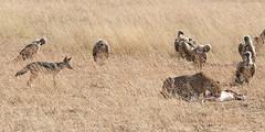 Black-backed Jackal and Cheetah