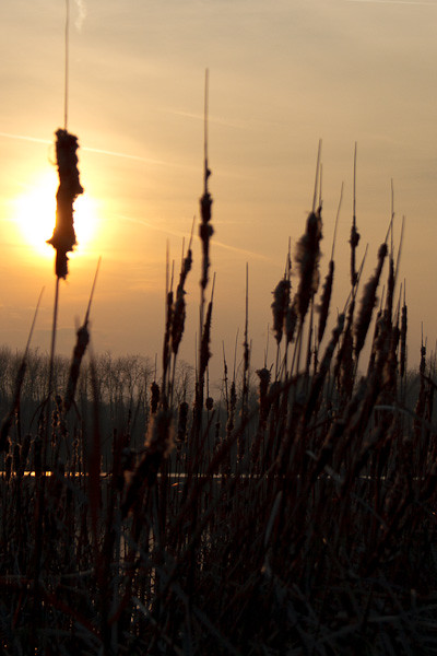 Lakeside reeds, silhoutted against the setting sun