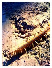 centipede (five)